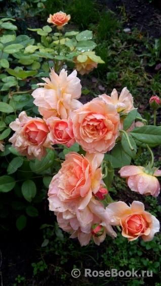 роза грейс описание и фото