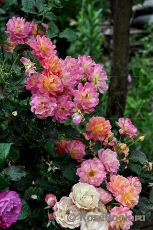 Роза пьер де сан косм