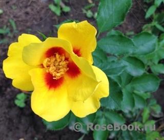 Айконик роза энциклопедия роз