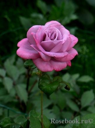 роза парадайз описание и фото