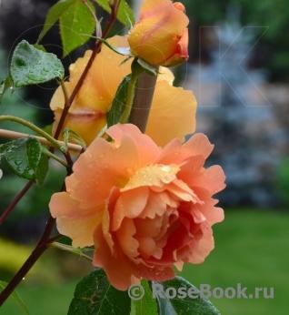 Роза дорис дэй энциклопедия роз