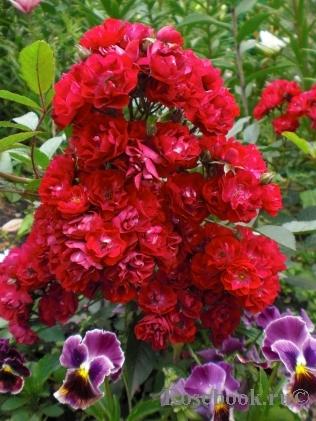 Роза альберих энциклопедия роз