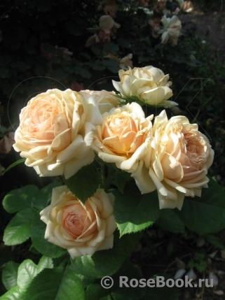 роза френдшип фото описание