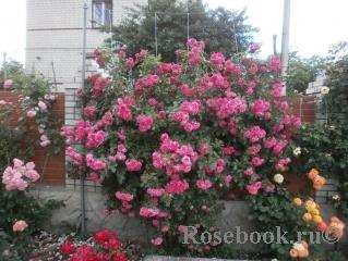 Плетистая роза лагуна фото и описание