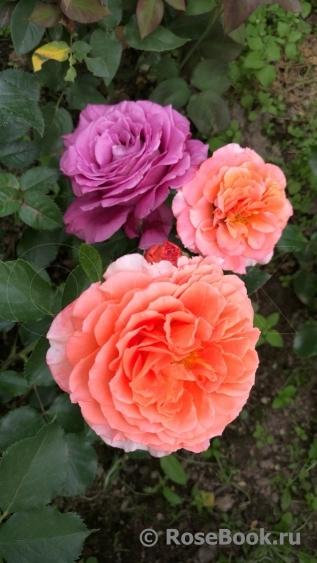 Роза голд топаз энциклопедия роз