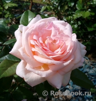 White Fox Rose