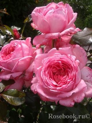 Роза квадра энциклопедия роз