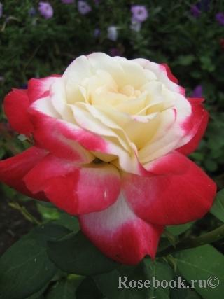 роза фото и описание дабл делайт