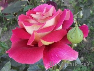 Роза кроненбург описание фото