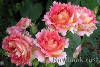 Ла роза дес кварте роза