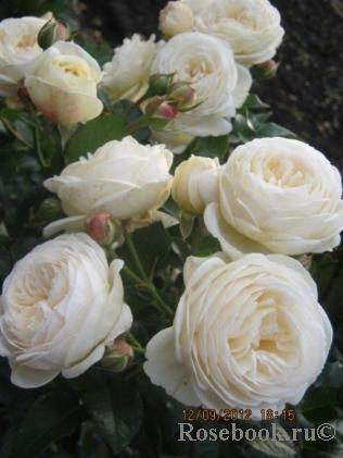 Сайт энциклопедия роз