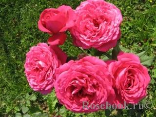 Johann Wolfgang von Goethe Rose®