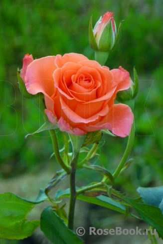 Роза деметра фото и описание