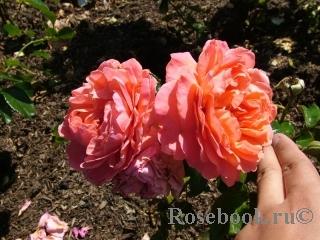 Pink Abundance