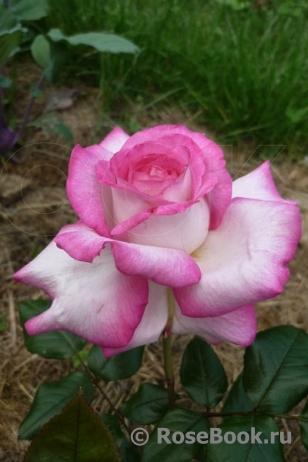 Роза паскаль энциклопедия роз