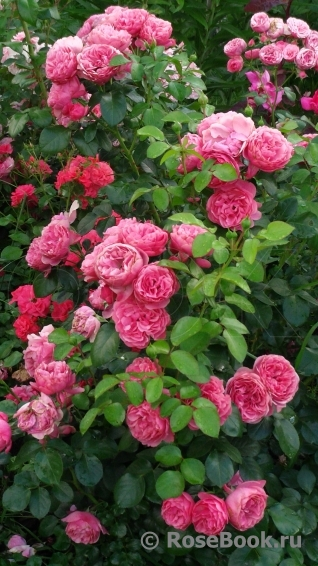 Грандесса роза энциклопедия роз