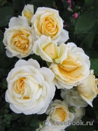 Роза мишель бедросьян энциклопедия роз 168