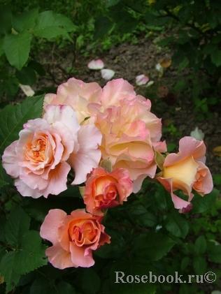 Роза ист парк энциклопедия роз