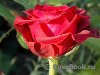 роза фото и описание селена
