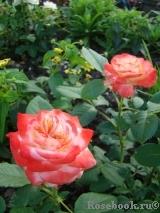 rose imperatrice farah