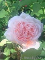 Роза роберто капуччи энциклопедия роз