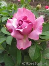 Love song роза энциклопедия роз