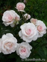 The Soham Rose