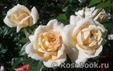 Lions Rose
