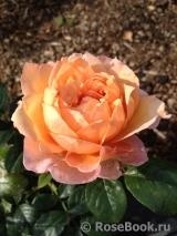 Капри роза энциклопедия роз
