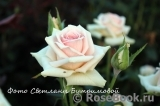 Wedding Rose ®