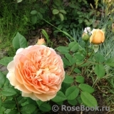 Crown Princess Margareta®