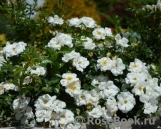 Bees Paradise Rose White