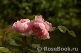 The Alnwick Rose
