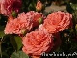 розы поульсена фото