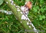 Щитовка розанная