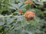 Орехотворка розанная