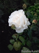Great North Eastern Rose