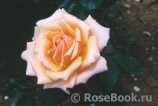Caron Keating Rose