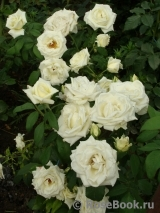 боинг роза фото и описание