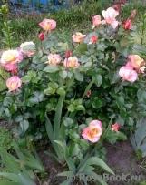Britannia rose