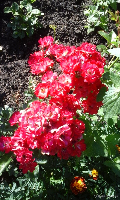 Посадка роз с открытой корневой системой (выбор саженцев)