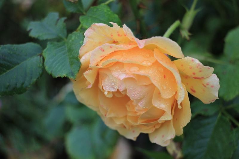 На цветах розы пятна
