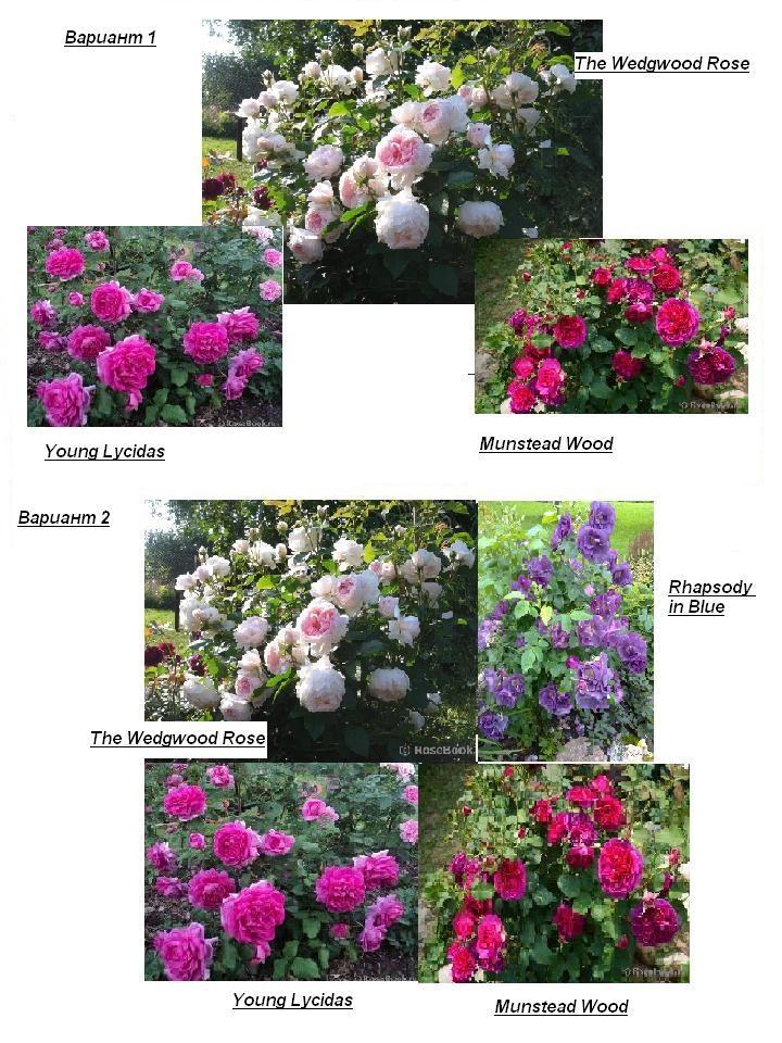 Роза голубая рапсодия энциклопедия роз