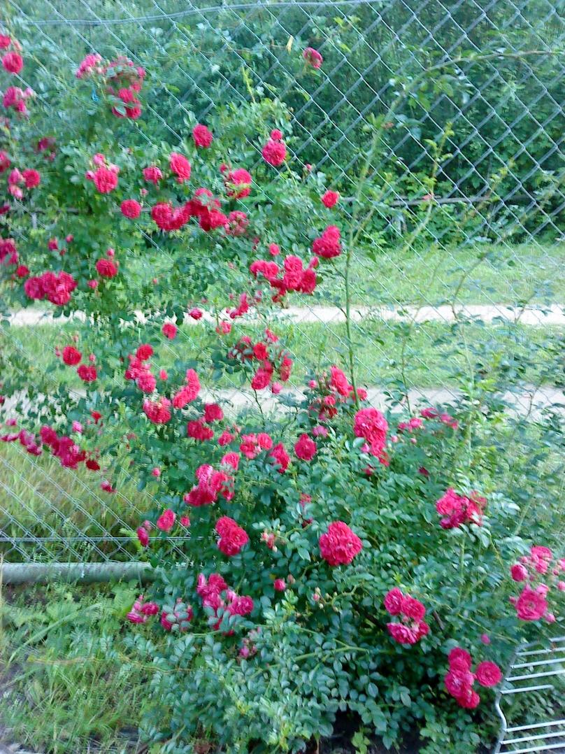 Плетистая роза супер эксцельза 1