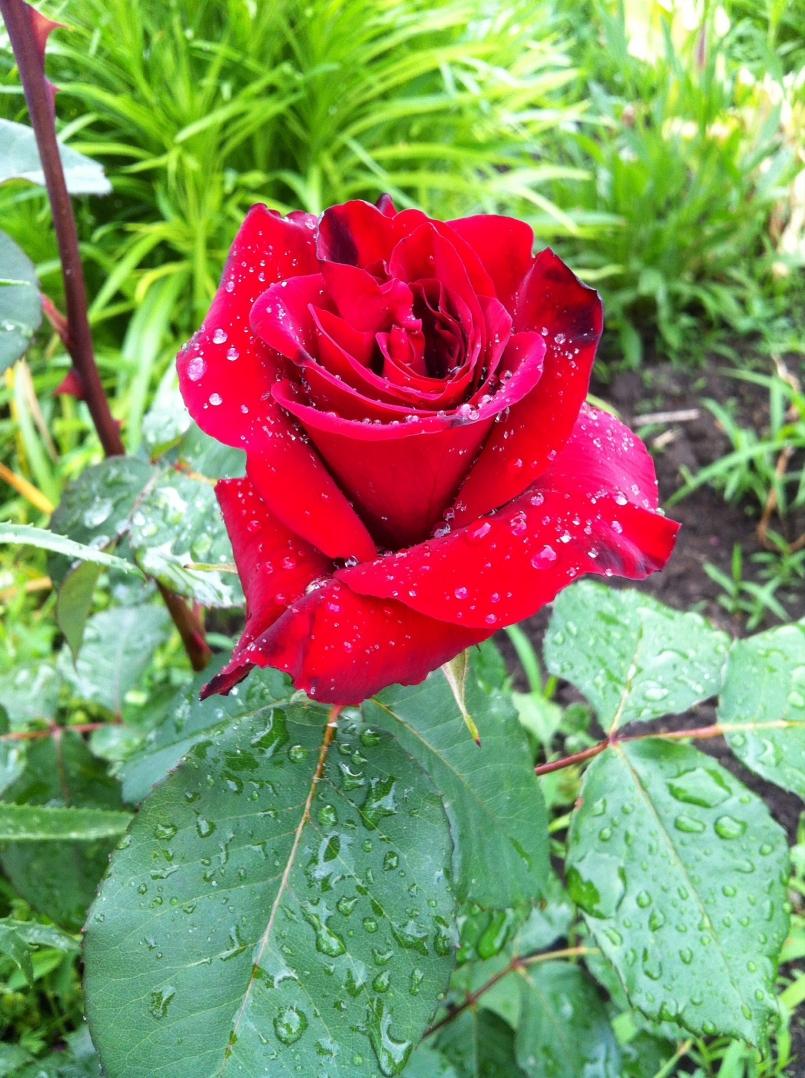 Роза чайно гибридная секси ред