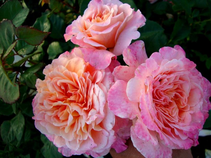 Виды и сорта роз: фото, названия, описание цветов какие ...