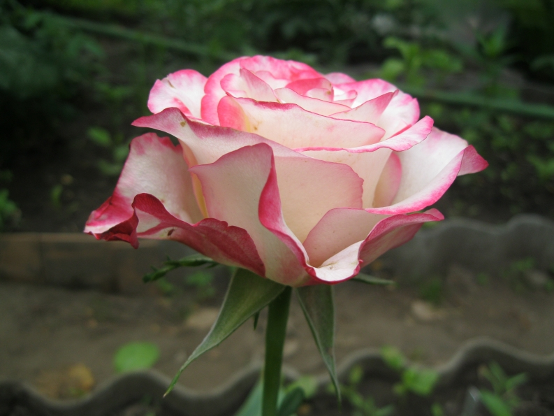Роза малибу энциклопедия роз