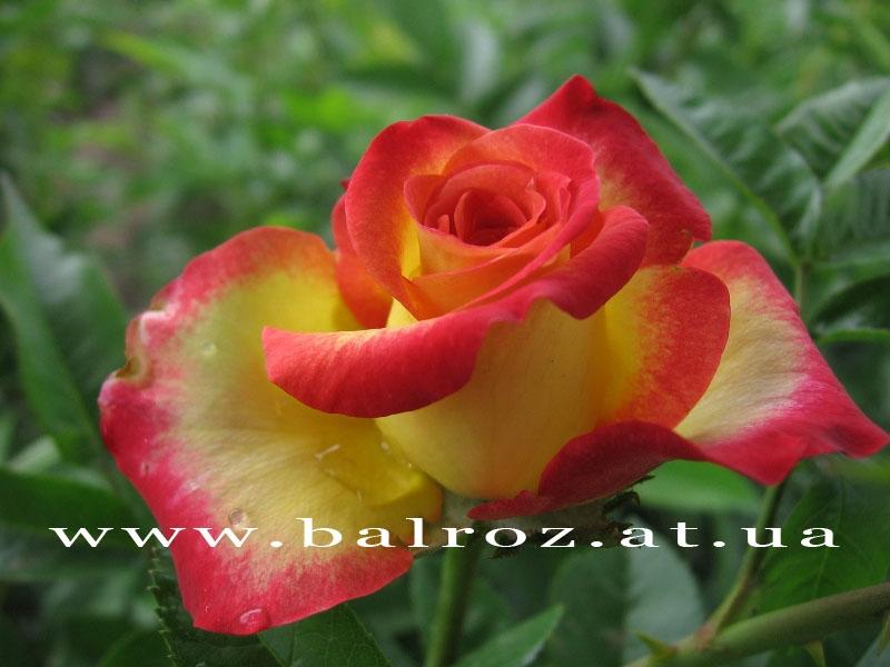 Роза нью фэшн энциклопедия роз