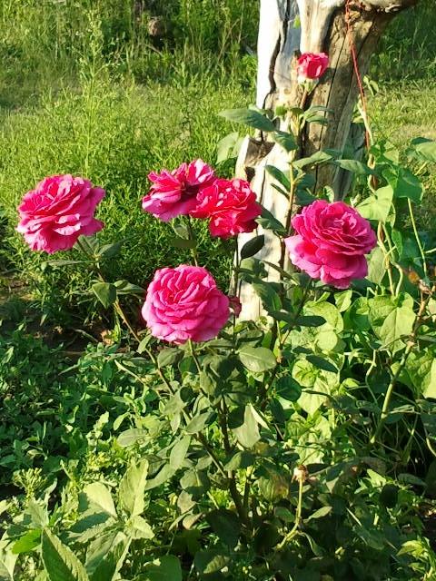 Роза малиновый звон описание и фото