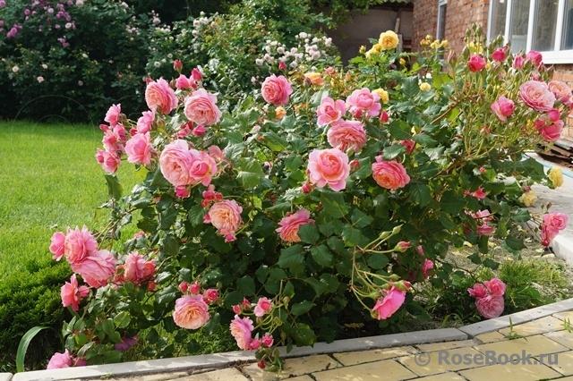 Роза 100 идей сада энциклопедия роз